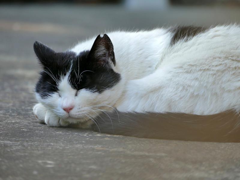 尻尾を丸めて寝てる白黒猫2