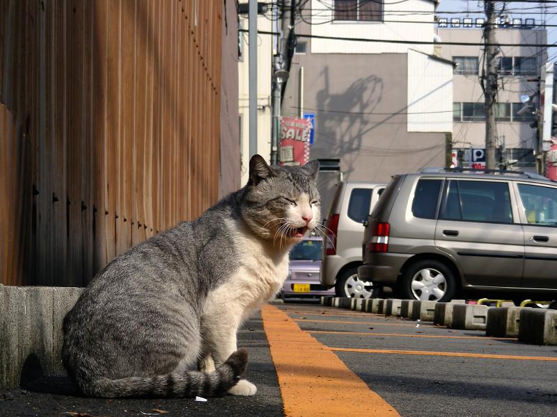 トタン板駐車場グレー白猫1