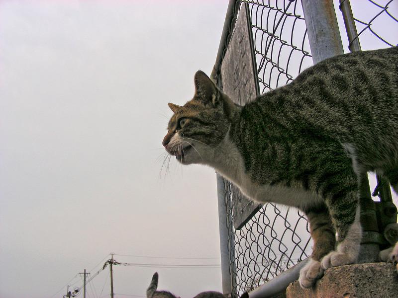 金網のそばのキジ白猫1
