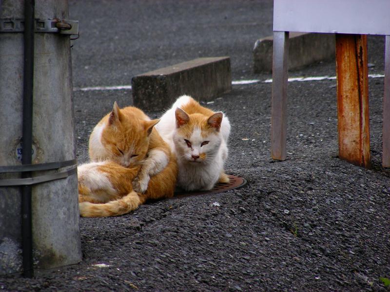 茶白猫たち1