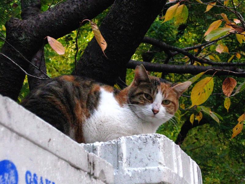 桜の木と三毛猫1