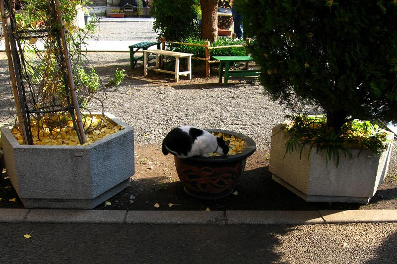 水鉢から水を飲む白黒猫1