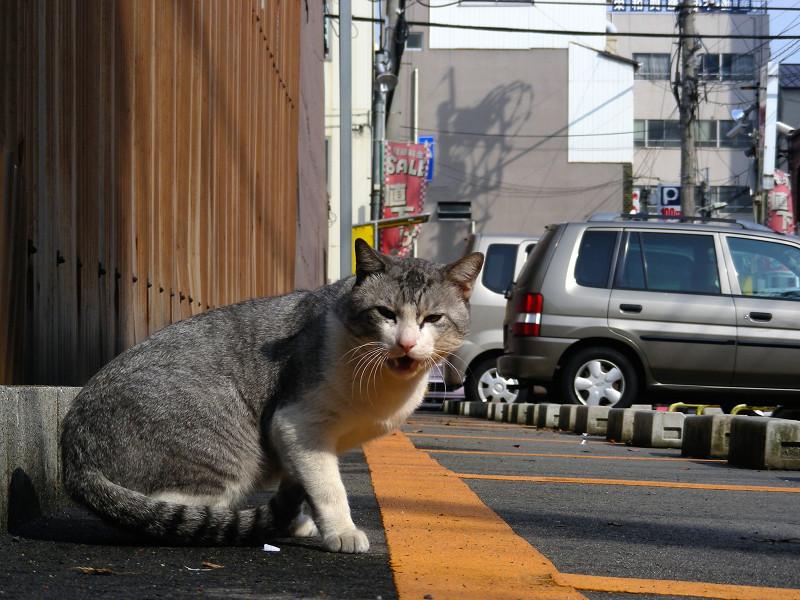 トタン板駐車場グレー白猫2