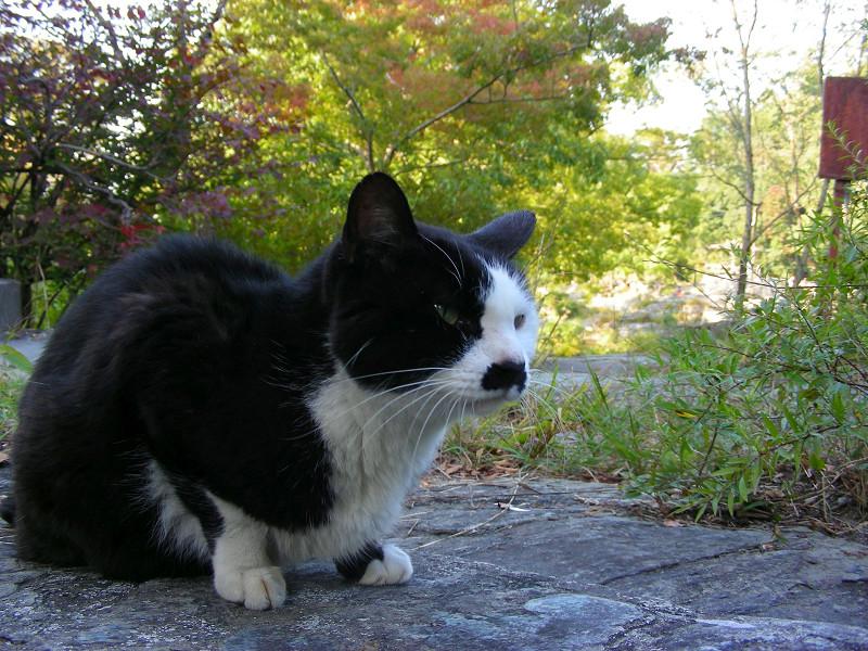 岩場の黒白猫2