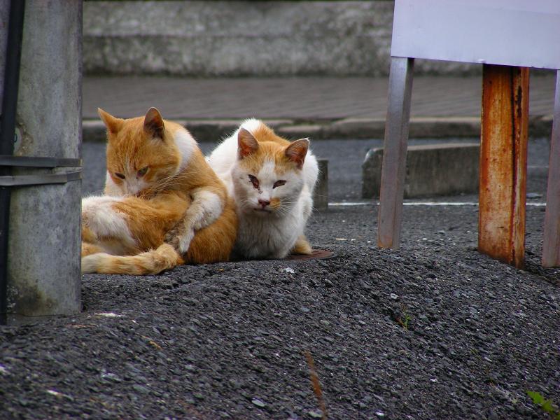 茶白猫たち2
