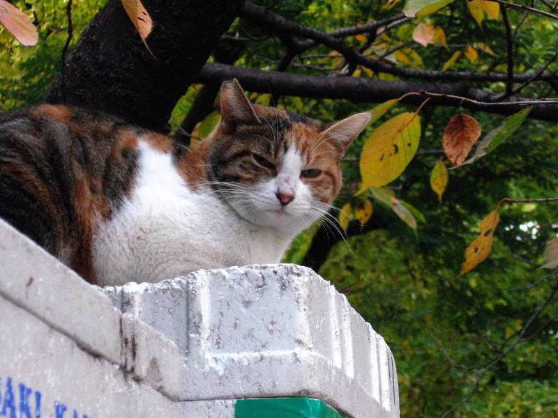 桜の木と三毛猫2