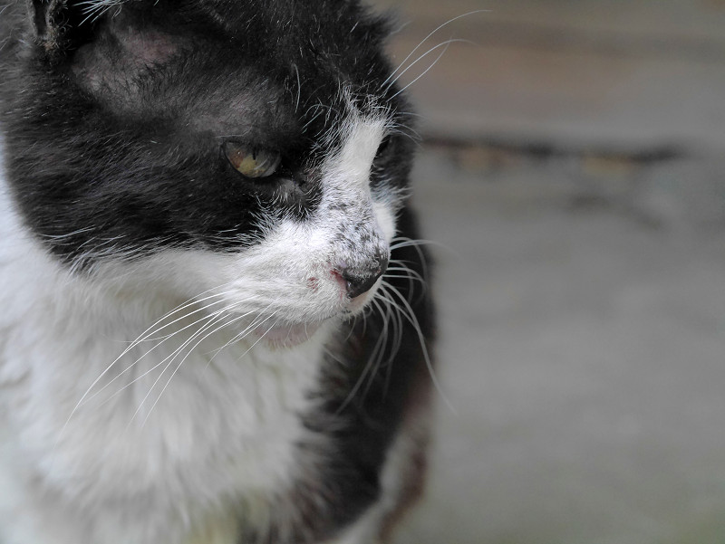 黒白猫の横顔1