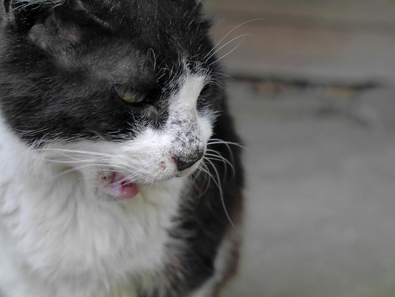 黒白猫の横顔2