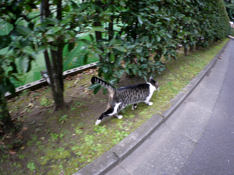 走り去るキジ白猫2