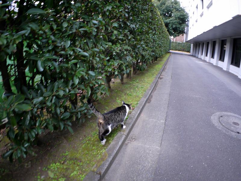 走り去るキジ白猫3