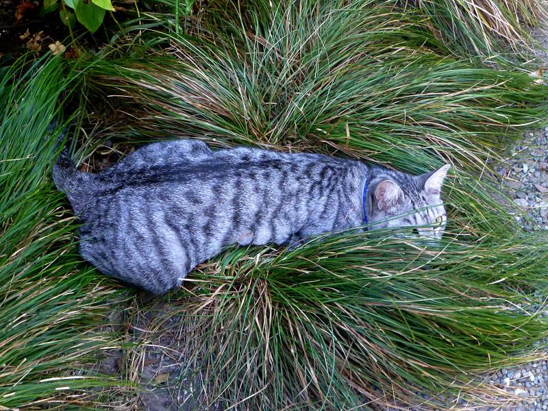 顔だけ隠してるサバトラ猫1