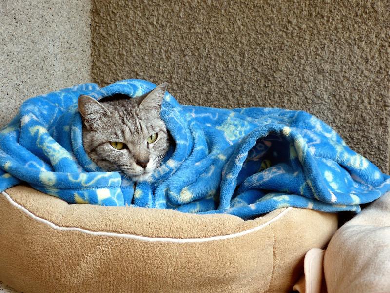 包まってるサバトラ猫1