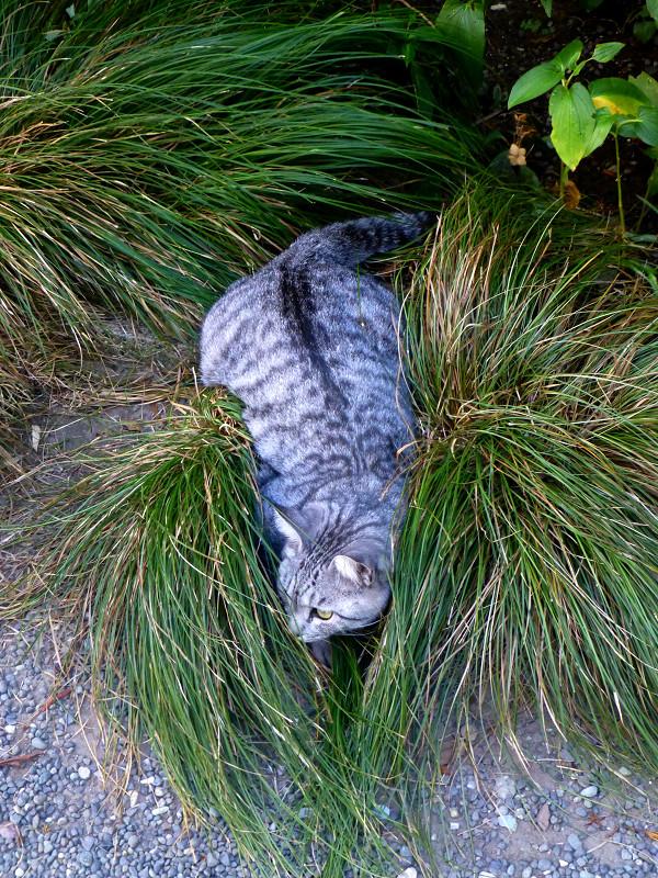 顔だけ隠してるサバトラ猫2