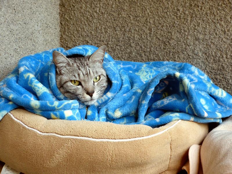包まってるサバトラ猫2