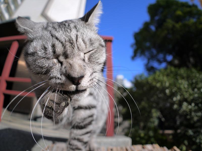 卒塔婆の上で手をなめるサバトラ猫3