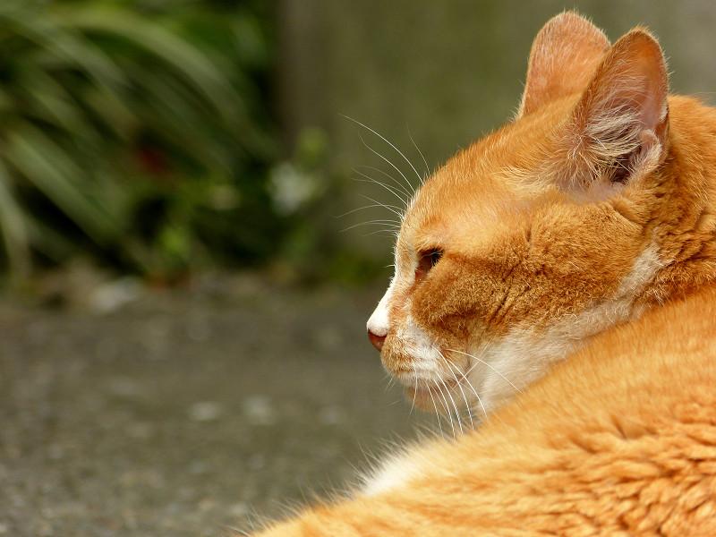 横を向いて気にしてる茶白猫