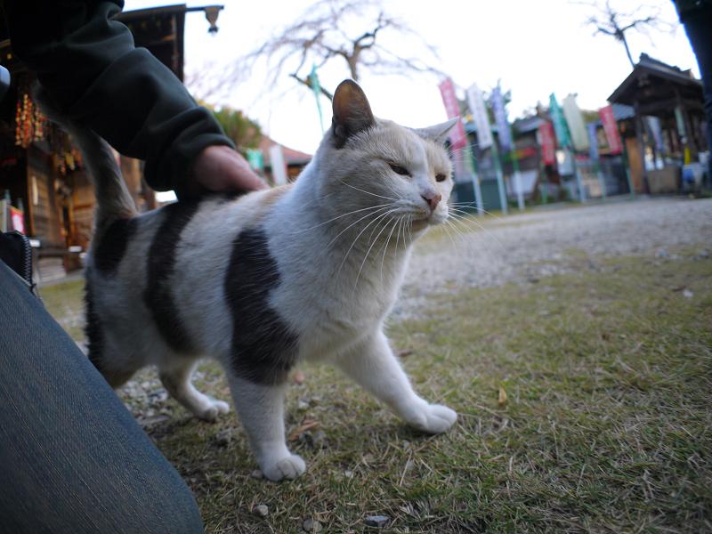 再会した薄い柄の三毛猫1
