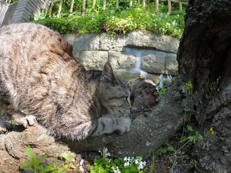 切り株で爪を研ぐキジトラ猫1