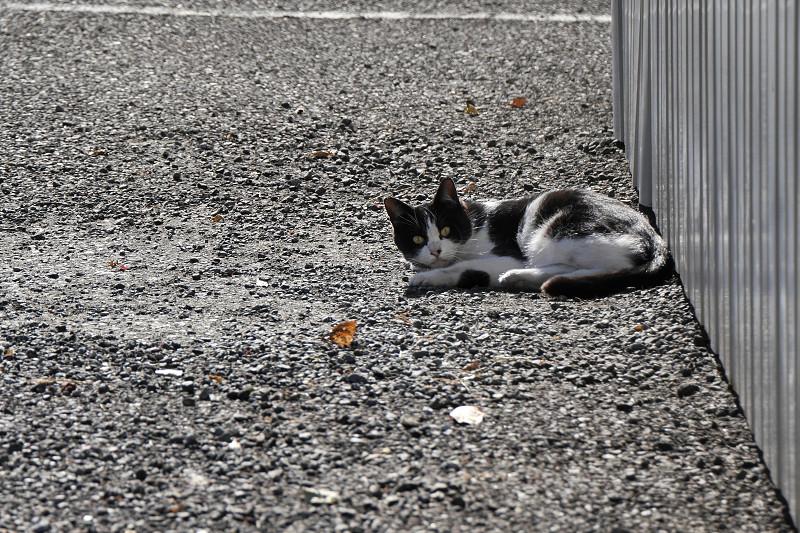 駐車場で首を振る黒白猫1
