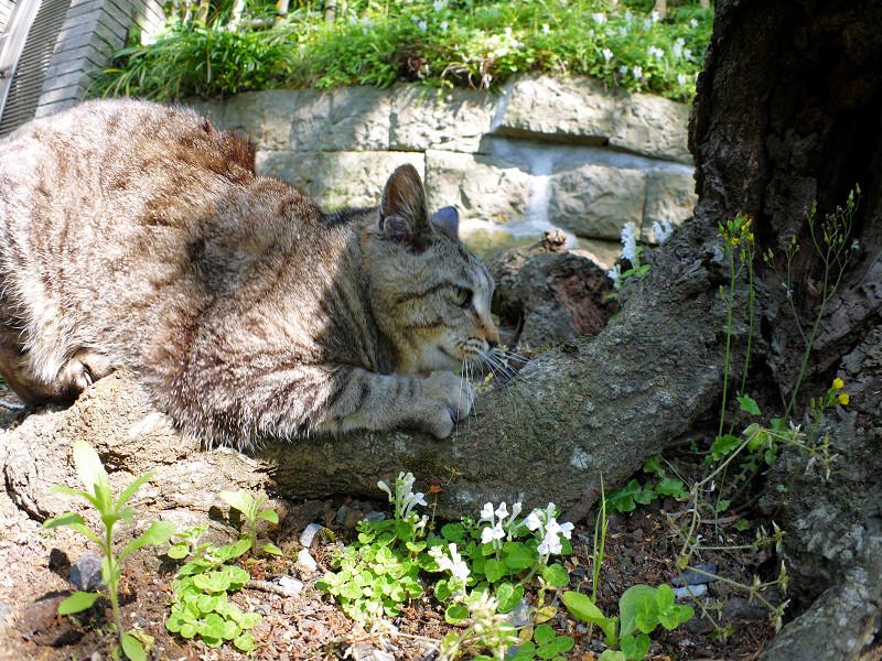 切り株で爪を研ぐキジトラ猫2