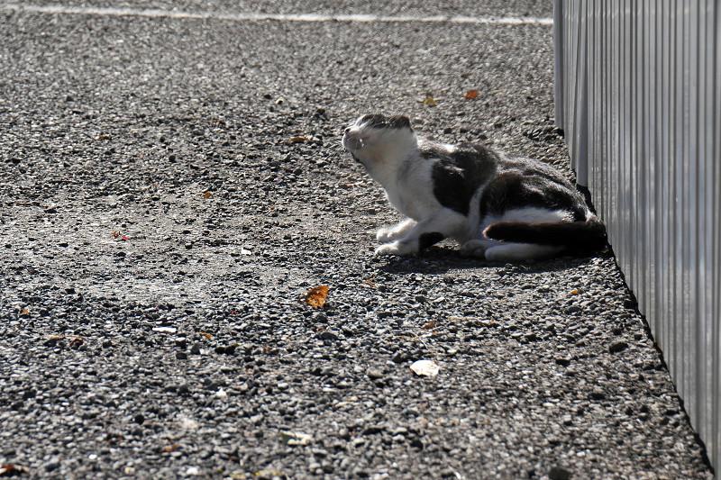 駐車場で首を振る黒白猫3
