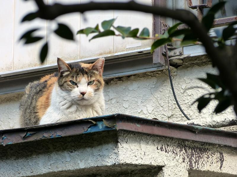 庇で香箱の三毛猫1