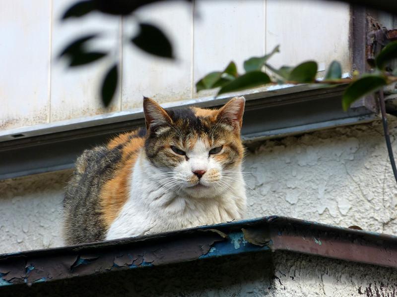 庇で香箱の三毛猫2