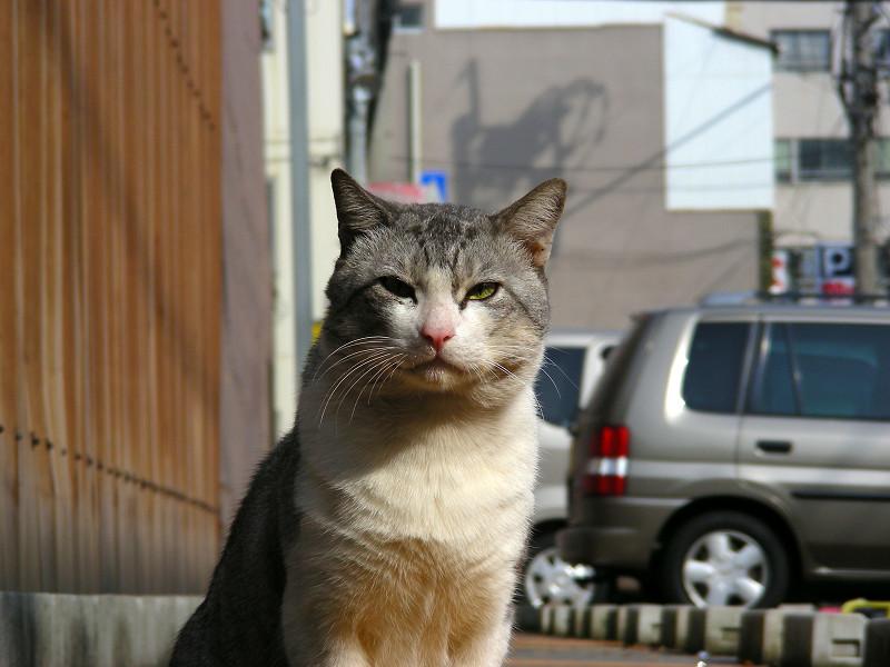 駐車場でカメラ目線のグレー白猫1