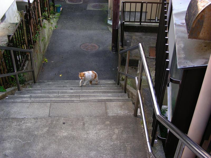 階段を登ってくる白茶猫1
