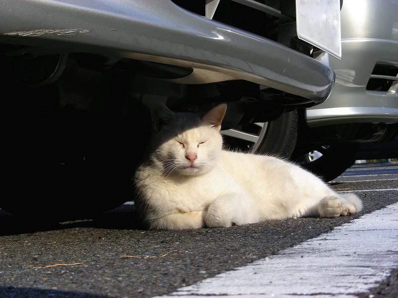 車の下の白猫1