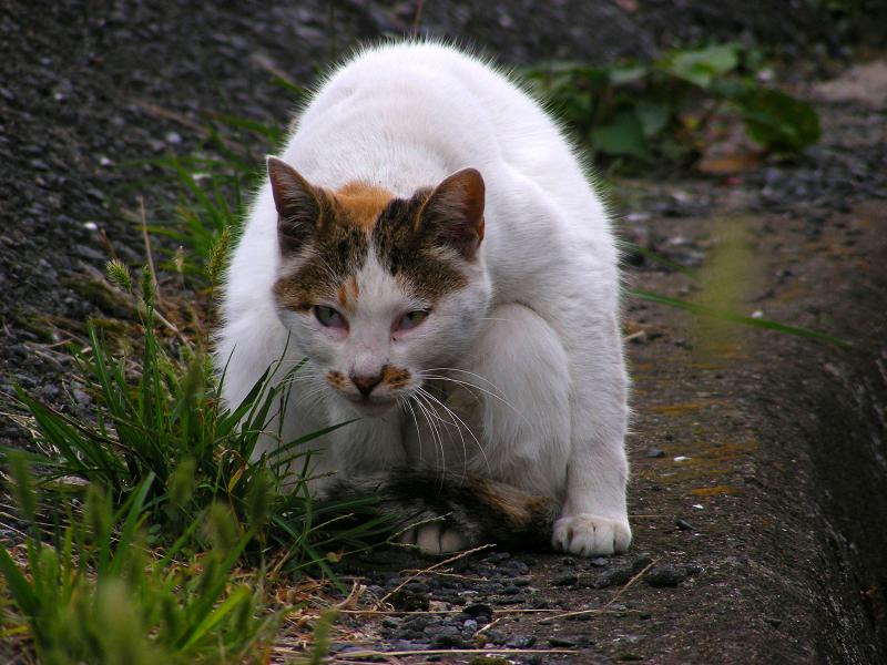 体を曲げてる白キジ猫1