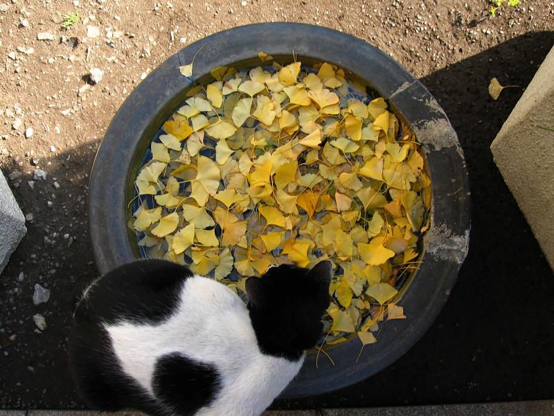 水鉢と白猫のハイアングル1