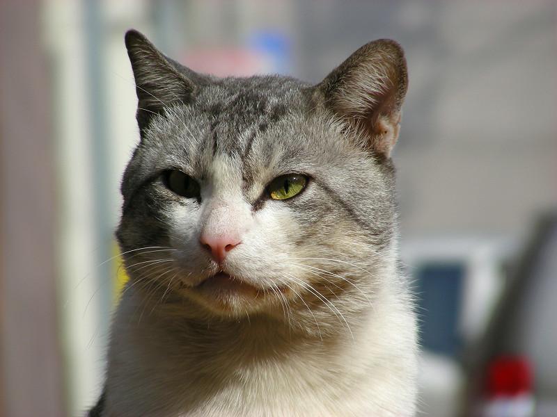 駐車場でカメラ目線のグレー白猫2