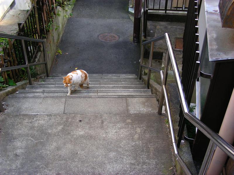階段を登ってくる白茶猫2