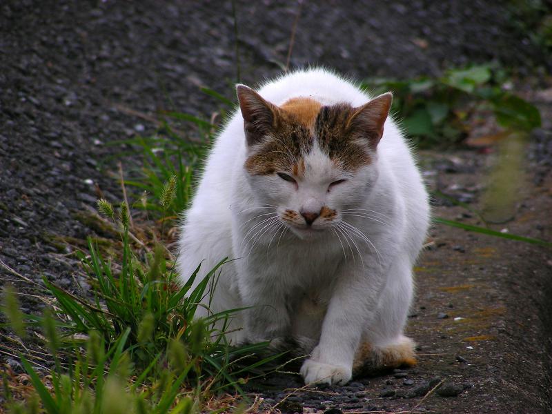 体を曲げてる白キジ猫2