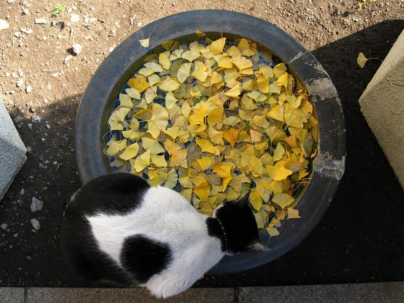水鉢と白猫のハイアングル2