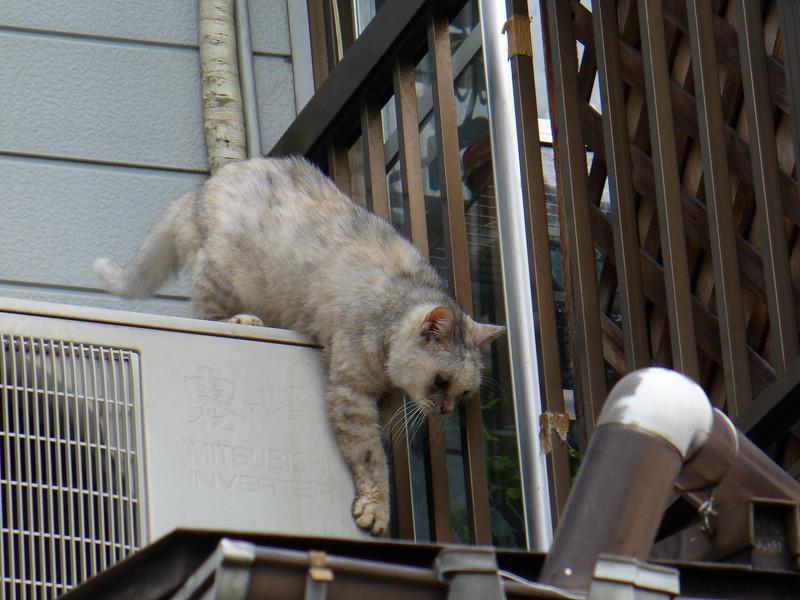 窓から出て来た白い猫2