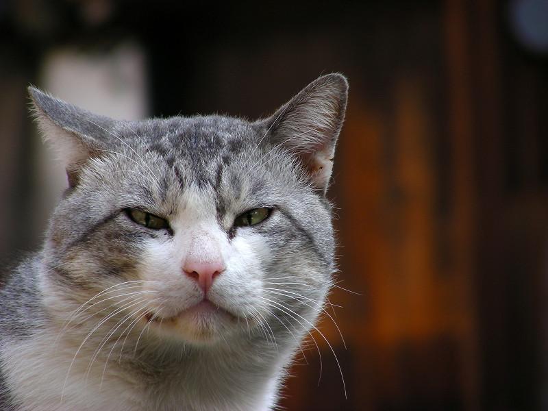 駐車場でカメラ目線のグレー白猫3