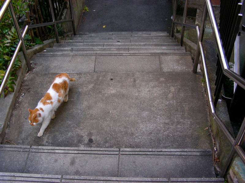 階段を登ってくる白茶猫3