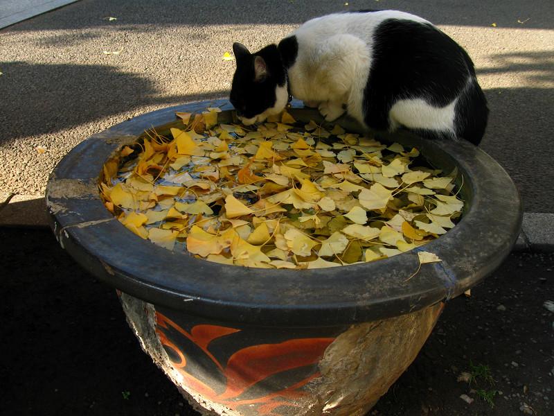 水鉢と白猫のハイアングル3