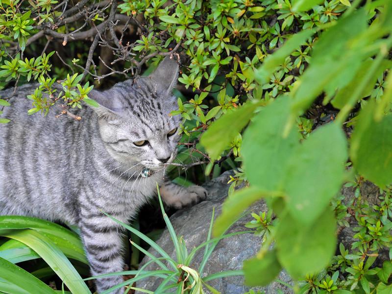 草むらの耳水平のサバトラ猫