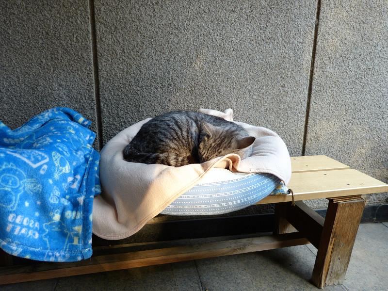 丸いクッションで寝ているサバトラ猫1