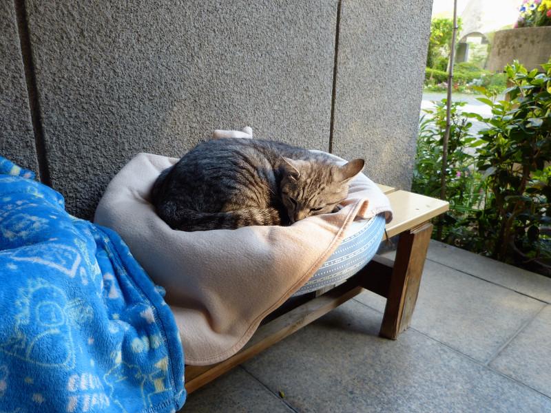 丸いクッションで寝ているサバトラ猫2