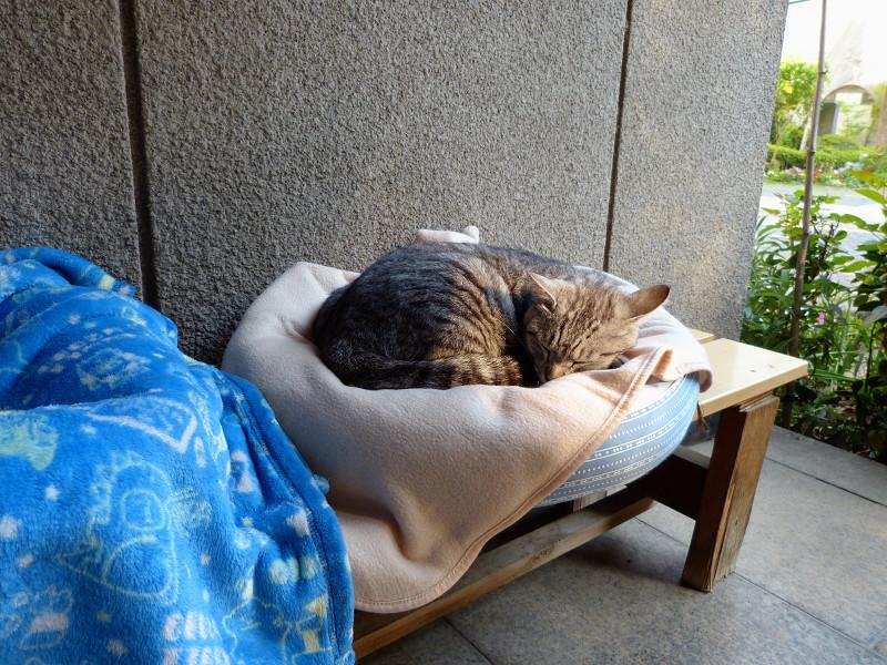 丸いクッションで寝ているサバトラ猫3