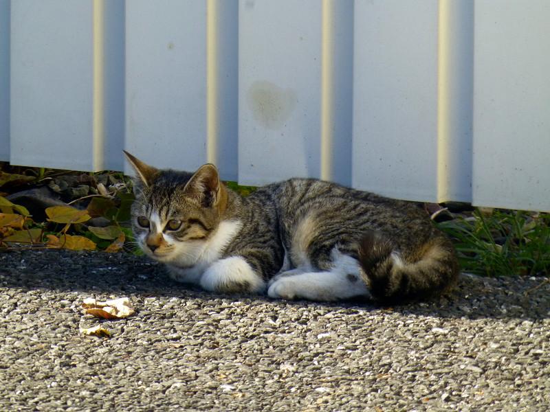 トタン壁の前の猫1