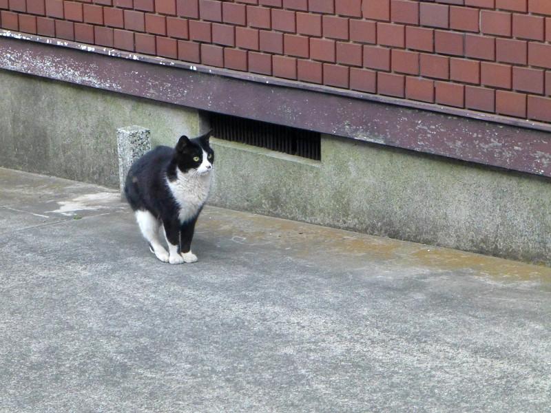 驚き顔で腰を落とす黒白猫1