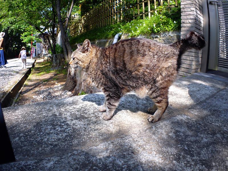 立ち上がったキジトラ猫1