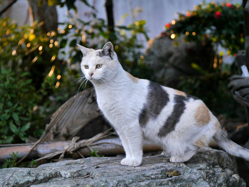 じっとしている薄い柄の三毛猫1