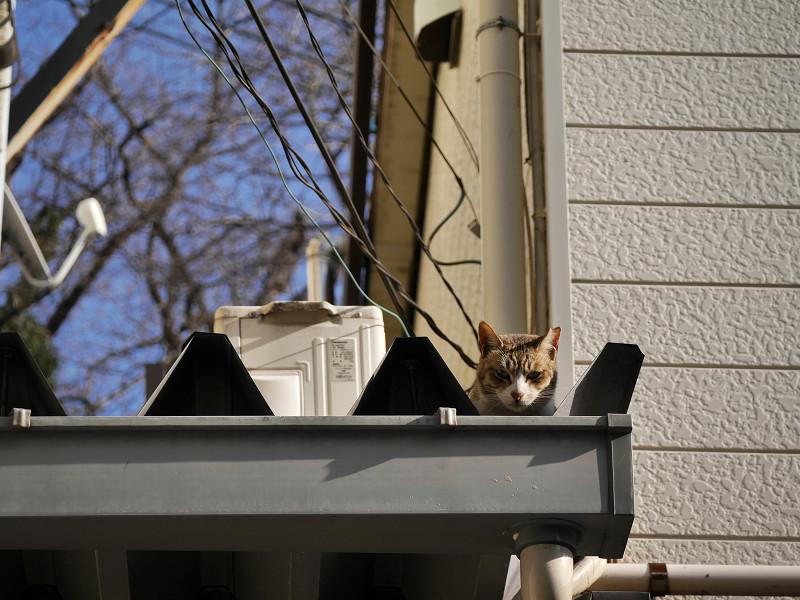 屋根から見つめ合ったキジ白猫1