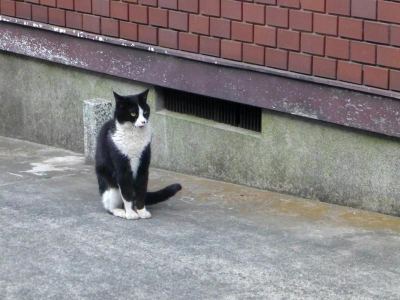 驚き顔で腰を落とす黒白猫2